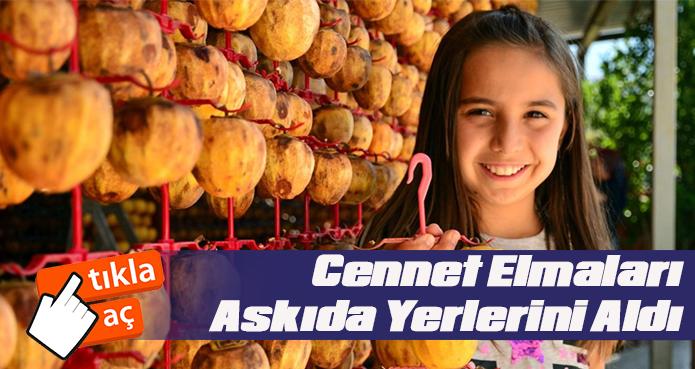 TRABZON HURMASI DENİZLİ'DE HASADI BAŞLADI