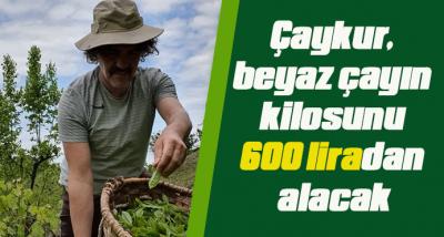Çaykur, beyaz çayın kilosunu 600 liradan alacak