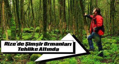 Rize'de Şimşir Ormanları Tehlike Altında